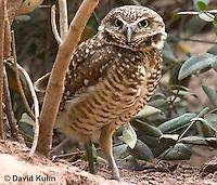 0723-1103  Western Burrowing Owl (Northern Borrowing Owl), Athene cunicularia hypugaea  © David Kuhn/Dwight Kuhn Photography.