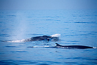 fin whales, Balaenoptera physalus, California, USA, Pacific Ocean