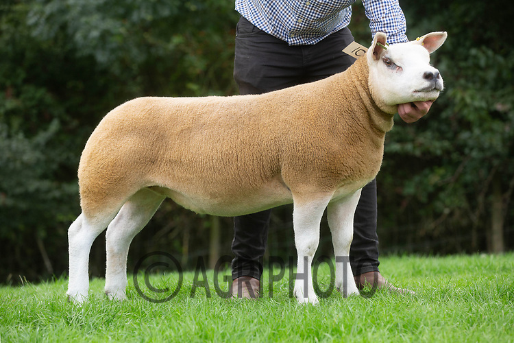 31.8.2020 Texel Sheep Society English National Sale<br /> ©Tim Scrivener Photographer 07850 303986<br />      ....Covering Agriculture In The UK.