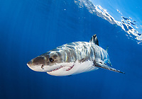 great white shark, Carcharodon carcharias, with fresh bite wound from other great white shark, Guadalupe Island, Mexico, Pacific Ocean