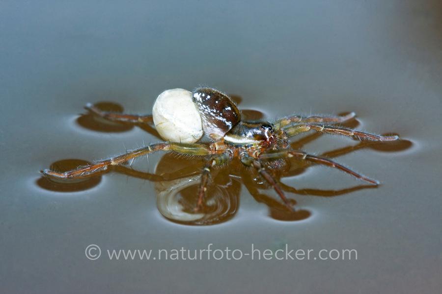 Piratenspinne, Piraten-Spinne, Weibchen mit Eikokon auf Wasseroberfläche, Pirata piraticus