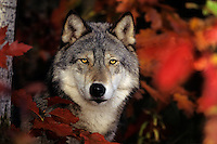 Gray wolf or timber wolf (Canis lupus) framed by fall color.