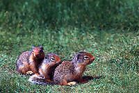 Young Columbian Ground Squirrels (Spermophilus columbianus), Family of Three lined up in Row on Grass
