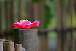 Fallen cameilia blossom sits on post of bamboo fence.  The Japanese Garden in Portland is a 5.5 acre respit.  Said to be one of the most authentic Japanese Garden's outside of Japan, the rolling terrain and water features symbolize both peace and strength. Public, city facility