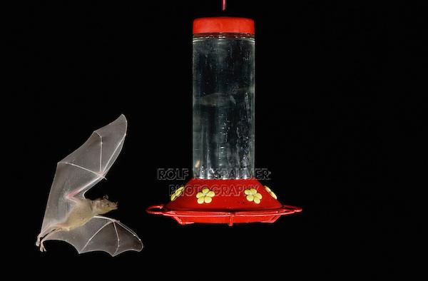 Lesser Long-nosed Bat, Leptonycteris curasoae, adult in flight at night feeding on Hummingbird feeder,Tucson, Arizona, USA