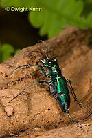 1C35-581z Six-spotted Green Tiger Beetle, Cicindela sexguttata