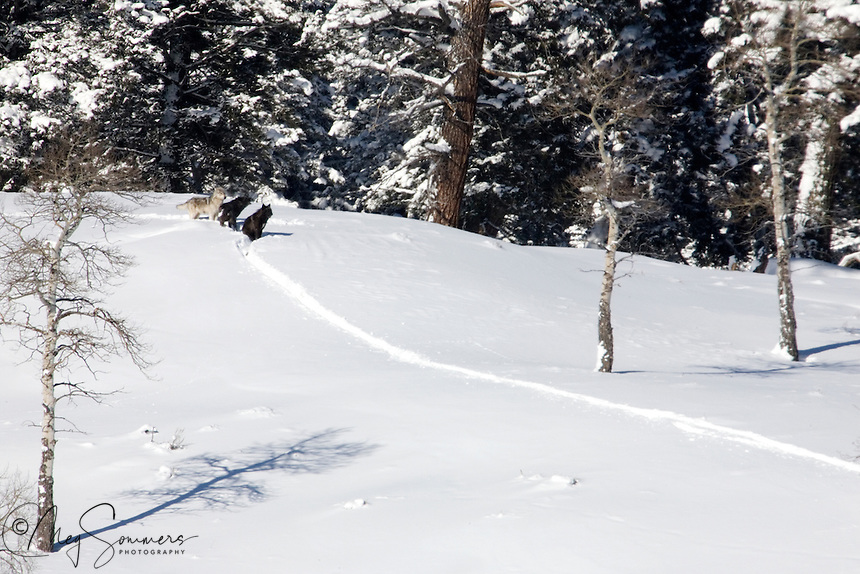These three wolves (Canis lupus) are from the Druid Pack, at the time some 10 or more members strong. They are headed in the direction of their den site but are waiting for other members to catch up.  Notice how there is only one trail and that the largest, strongest one was in front? Cooperative living!<br /> Soda Butte Valley, below Trout Lake,  NW Yellowstone.