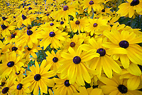 Black eyed Susan flowers. Oregon Gardens, Oregon