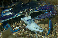 Blue swimmer Crab, Portunus pelagicus, a male blue swimmer crab eating a piece of fish, Edithburgh, South Australia, Australia, Southern Ocean