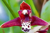 Maxillaria tenuifolia Orchid red flowers with spotted lip, intensely fragrant. Coconut orchid.