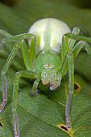 Grüne Huschspinne, Weibchen, Micrommata virescens, Micrommata rosea, Micrommata roseum, green spider, green huntsman spider, female