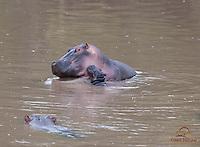 Hippo calf (Hippopotamus amphibius) sticks close to mother as a male Hippo approaches, Talek River, Kenya