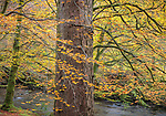 Glencoe, Scotland: Beech and conifer forest in fall color on the river Coe