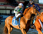 NEW YORK, NY - FEB 04: Jaime's Angel in post parade for the Withers Stakes on Withers Stakes Day at Aqueduct Racetrack on February 4, 2017 in the Ozone Park neighborhood of New York, New York. (Photo by Sue Kawczynski/Eclipse Sportswire/Getty Images)