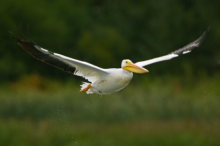 American White Pelican (pelecanus erythrorhynchos) flying shortly after take-off in Elk Island National Park, Alberta, Canada