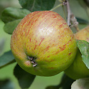 Apple 'Northern Greening', mid September. An English culinary apple widely grown throughout the country during the 19th century. Origin unknown.