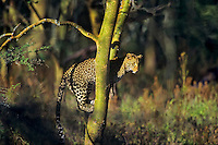 African leopard (Panthera pardus) in tree, Lake Nakuru National Park, Kenya.