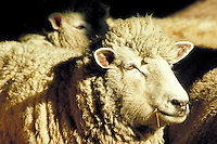 Close-up of an ewe enjoying the sunshine, livestock. Maryland USA Eastern Shore, Kent County.