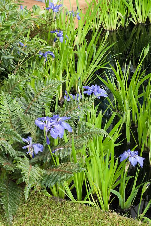 Iris ensata water plant in water garden pond with fern, lawn, deck