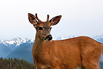 Deer are tame in the fabulous picnic area at Hurricane Ridge, Olympic National Park, Olympic Penninsula, Washington. Elwa River Valley in background. Olympic Peninsula