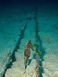 Kenting, Taiwan -- Zebra-Snout Seahorse, Hippocampus barbouri.