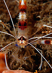 Straight on shot of  Banded Coral Shrimp, Stenophus hispidus