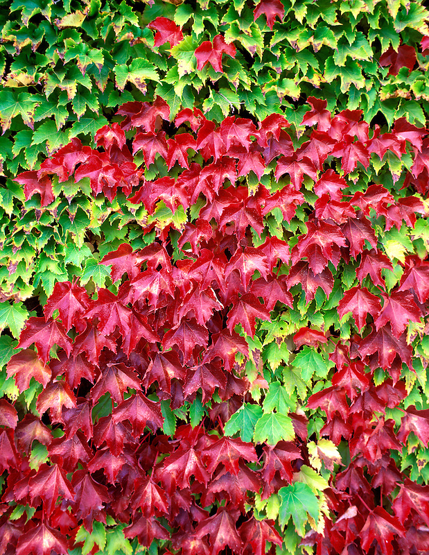 V00381M.tiff   Boston Ivy (parthenocissus triuspidata) in fall color. Corvallis, Oregon