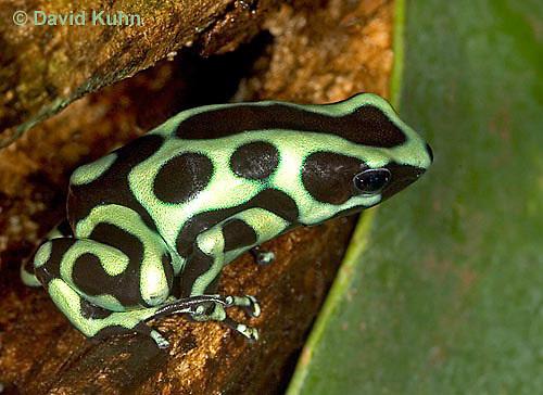 0930-07oo  Dendrobates auratus ñ Green and Black Arrow Frog ñ Green and Black Dart Frog  © David Kuhn/Dwight Kuhn Photography