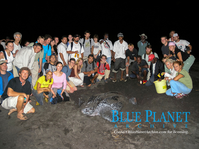tourists watch over nesting leatherback sea turtle, Dermochelys coriacea, Dominica, West Indies, Caribbean, Atlantic