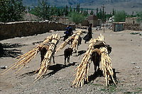 Indien, Ladakh (Jammu+Kashmir), Kloster Tikse, Lastesel