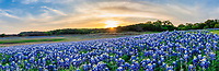 Texas Hill Country Bluebonnets Sunset Pano  -  Bluebonnet Landscape - <br /> The Texas hill country dry river bed came back to life again after the waters went down along the colorado river this year and this field of bluebonnets was a site to see.  We capture this wonderful field of wildflowers just as the sunset over the trees tops with enough light left for the the flowers in a panorama.   Spring time in the Texas hill country can be magical if when fields of wildflowers appear in great numbers.  We live not far from here so we came here several times till word got out and the bluebonnet got trampled down. The texas hill country has been one of the best places to capture pictures of bluebonnets landscapes in the past and we can only hope forever. Taking pictures of bluebonnets is one of our favorite things to capture. There are many varieties of bluebonnets in Texas from the chiso bluebonnet, to the sandyland and of course the Lupinus texensis lupine,  has been the state flower since the 1901 and all other bluebonnets were included in 1971 by the Texas Legislature which made all lupines in the state the state flower.  For most the most popular is the Lupinus texensis or texas bluebonnet know for the white top which is said to look like a bonnet.  <br /> <br /> Buy Photos by BeeCreekPhotography, Fine Art,  Buy Art Online. Wall Art. Bluebonnet Landscapes, Flowers and more...<br /> <br /> The FAA-Watermark will NOT appear on any final product!<br /> <br /> All artwork in this gallery is the original artwork of BeeCreekPhotography.  All Rights Reserved. It is for sale, copyrighted to BeeCreekPhotography, and is protected by US and International Copyright laws.