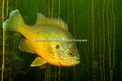 Pumpkinseed Sunfish by Engbretson Underwater