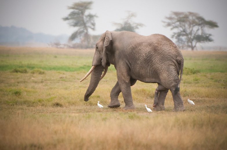 Bull elephants play hardly any role in elephant family set up apart from mating for mature males. The bonding of males is very loose; they may be with male peers, join a group of females and their young or be just all alone.