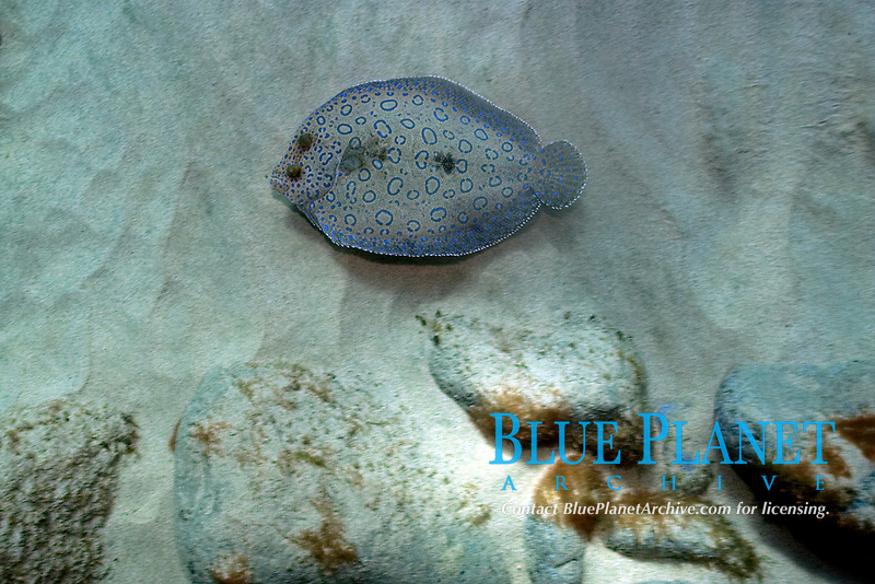 peacock flounder, Bothus lutanus, Fernando de Noronha, Brazil, Atlantic Ocean
