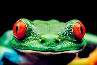 red-eyed treefrog, Agalychnis callidryas, Costa Rica (c)