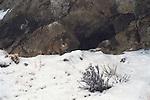 Mountain lion cub leaves main den.