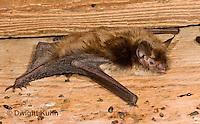 MA20-634z  Little Brown Bats, Myotis lucifugus