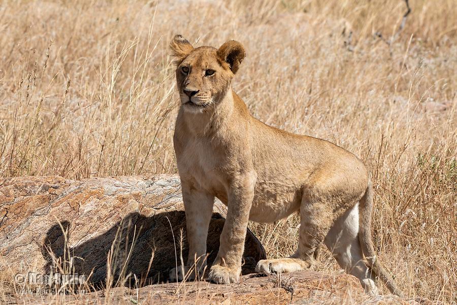 Lion, Panthera leo  melanochaita, in Serengeti National Park, Tanzania