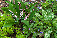 Pink Lily of the Valley, Convallaria majalis Rosea with Pulmonaria, Galium Sweet woodruff in spring shade garden
