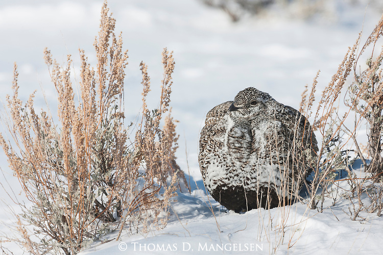 Portrait of a female greater sage-grouse in Grand Teton National Park, Wyoming.