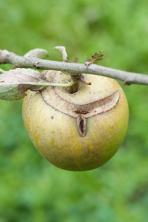 Sawfly scar on Apple 'Aromatic Russet', mid September.