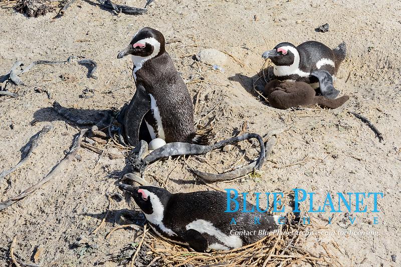 African penguin, Spheniscus demersus, adults with chicks in nest at breeding coloy, Boulders Beach, Simons Town, South Africa