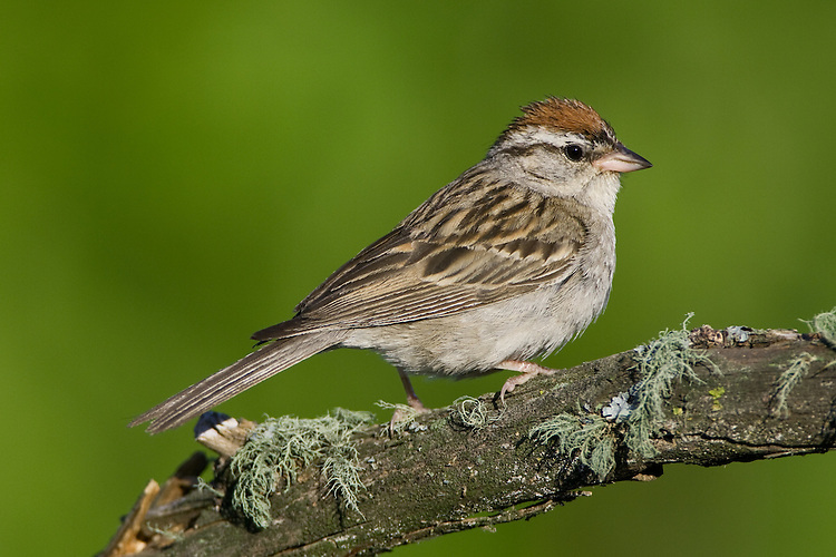 Chipping Sparrow perched on a mossy branch