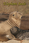 FB-M36  Elephant seal female and pup.  2X3 Photo magnet