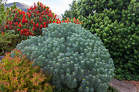 Phymaspermum acerosum syn. Athanasia acerosa , Coulter Bush, silver foliage South African perennial in Leaning Pine Arboretum, San Luis Obispo, California