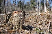 Stump of a yellow birch in Unit 36 of the Kanc 7 Timber Harvest Project during the spring months in the White Mountains of New Hampshire. Referenced from the Kanc 7 proposed package documents - The harvest method for Unit 36 was Group/STS (Group Selection & Single Tree Selection). Signs of the timber harvest project are visible when traveling along the Kancamagus Scenic Byway (Route 112).