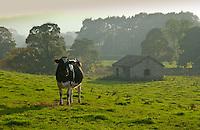 Dairy cow at sunset, Cumbria.