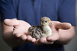 Three day old Turkey chick. It will be bred as a Free Range bird. Fosse Meadows Farm North Kilworth Leicestershire