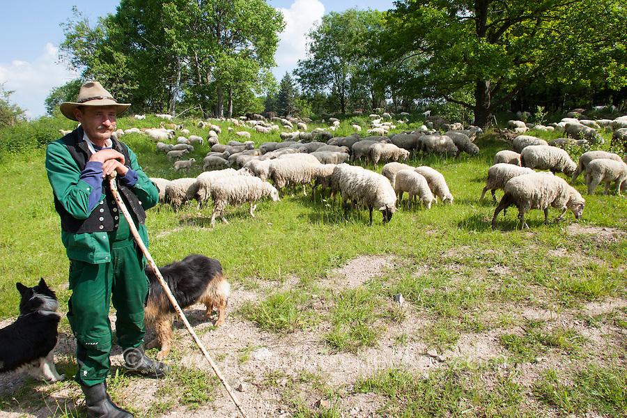 Hirte mit Schafherde und Hütehund, Schaf, Schafe, Hausschaf, Hausschafe, Merino-Schaf, Merinoschaf, Merino, Merino-Wollschaf, Wollschaf, Schafherde weidet auf Wiese unter Eichen, Sheep, domestic sheep, merino sheep, merino, merino, merino wool sheep, woolsheep, wool-sheep, flock of sheep grazing on meadow under oaks