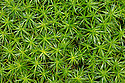Polytrichum Moss (Polytrichum commune) on forest floor. Peak District National Park, Derbyshire, UK, March.